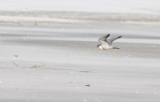 Peregrine cruising over the beach at Stone Harbor, NJ (Photo by Alex Lamoreaux)