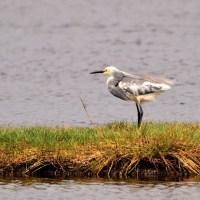 Heron Hybrid - Merritt Island NWR, Florida