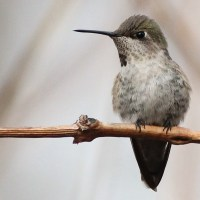 Delaware Anna's Hummingbird - Then and Now