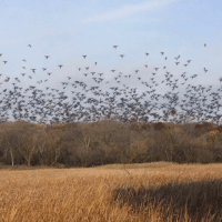 Support a documentary on Passenger Pigeons and their extinction