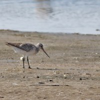 Bar-tailed Godwit at Chincoteague NWR, Virginia