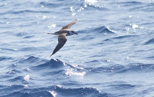 """Black-faced"" Black-capped Petrel"