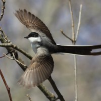 Fork-tailed Flycatcher - Hadlyme, Connecticut