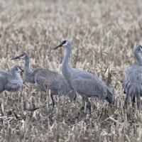 Sandhill Cranes in Central PA