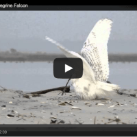 The rewards of patience - Snowy Owl vs Peregrine Falcon