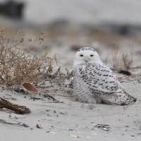 Track Snowy Owl in (near) real-time!