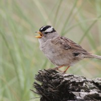 'Puget Sound' White-crowned Sparrows
