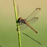 BRRI Hawkwatch: November 17, 2014 - Dragonflies and Bat Falcon!