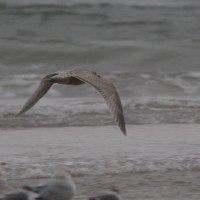 Thayer's Gull - Daytona Beach Shores, Florida