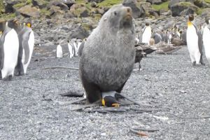 Viral Animal videos: Sexual frustration of Seals with Penguins trending.
