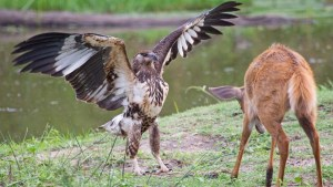 Trending and viral Animal Videos: Eagle hunting deer an amazing way- Netmarkers