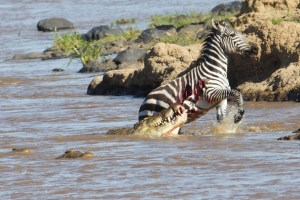 Trending video of crocodiles hunting Zebra- Size Doesn't matters- Netmarkers