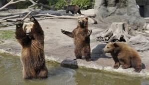 Enjoy the trending video of bears playing and having fun!