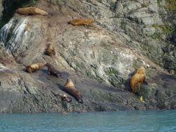 Seelöwen Yakutat Bay