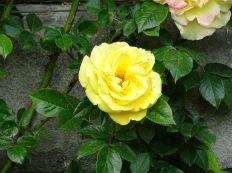 erste Rosenblüte