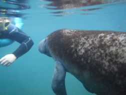 Schwimmen mit Manatis