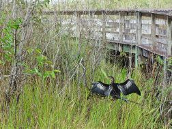 Anhinga in den Everglades