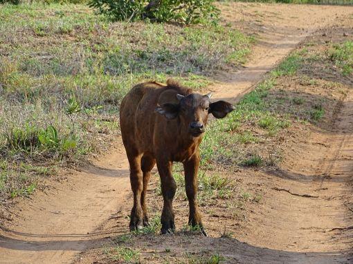 Büffel-Jungtier
