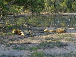 Löwen im Manyeleti Private Game Reserve