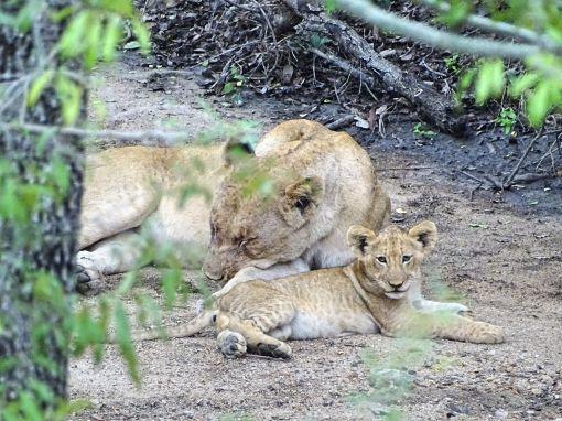 Löwin mit Cub