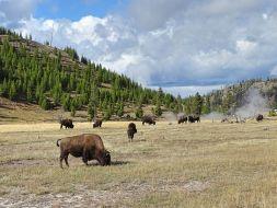 Bisonherde, Yellowstone Nationalpark