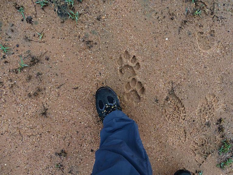 Wir folgen den Löwenspuren