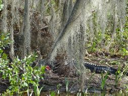 Alligator im Wakulla Springs State Park