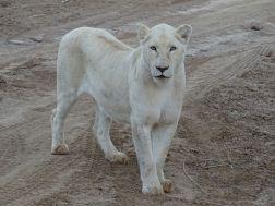 Löwin im Sanbona Wildlife Reserve