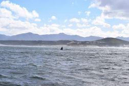 Whale Watching Tour, Hermanus