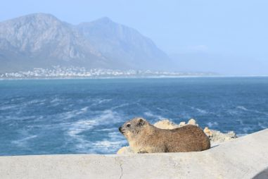 Dassie in Hermanus