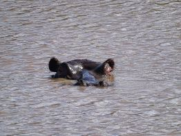 Nilpferd lugt aus dem Wasse
