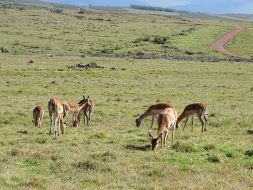 Impalas im Gondwana Game Reserve