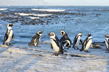 Pinguine am Stony Point in Betty's Bay