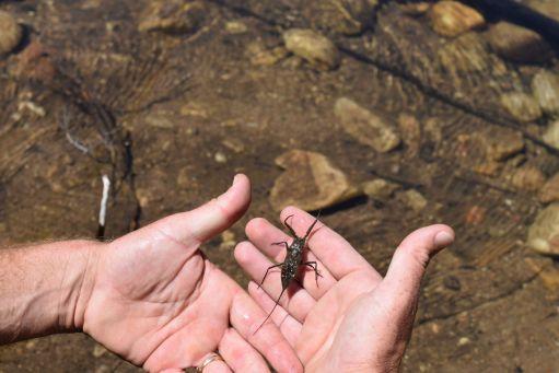 Wasser-Skorpion