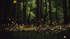 Nella riserva MaB di Montedimezzo la notte delle lucciole.