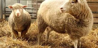 cloned-sheep