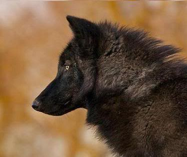 black_wolf_in_gold_MSS-1
