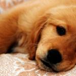 Canine Parvovirus Disease