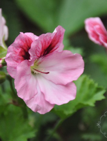 geranium @ {nifty thrifty things}