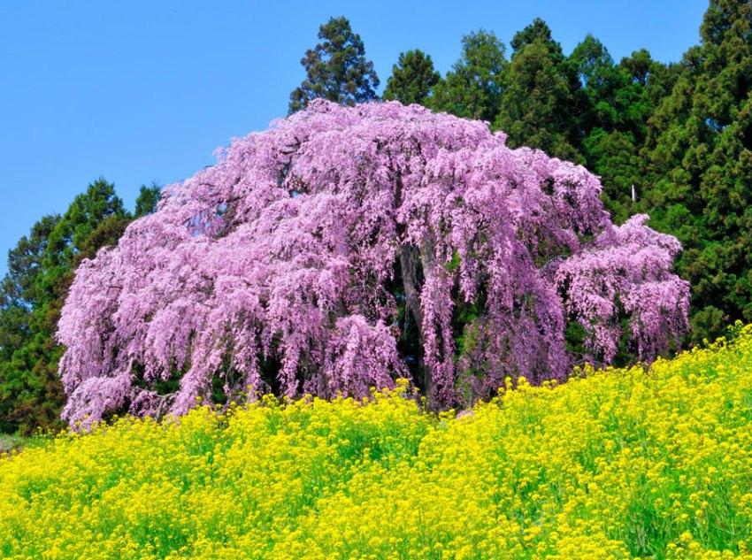 優秀賞「合戦場の桜」の写真