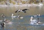 Noch mehr Pelikane