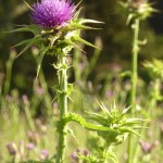 Purple thistle flower