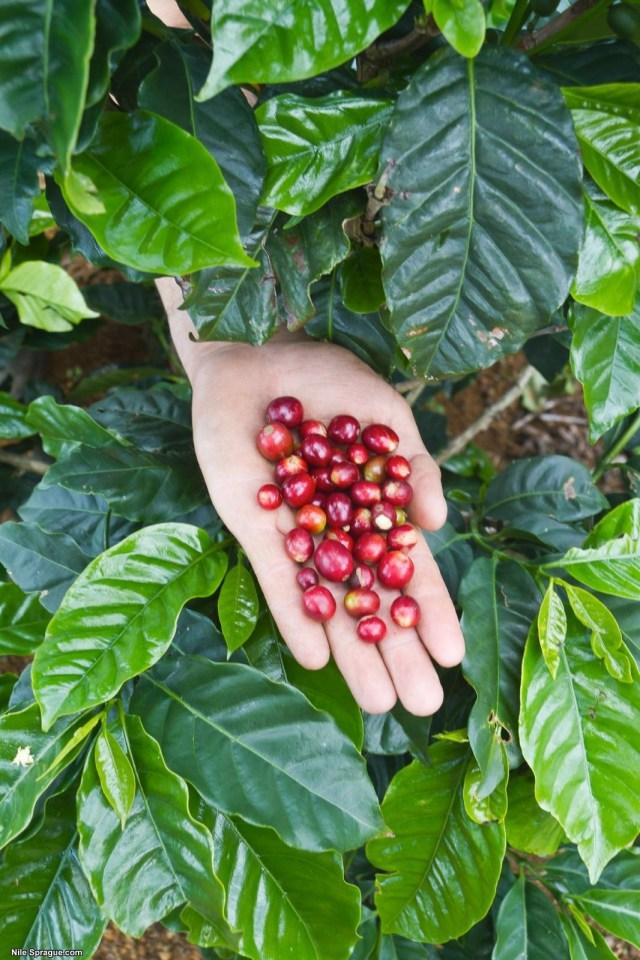 Holding ripe coffee cherries, Specialty Coffee Cooperative 'Los Maronchos', Las Vegas, Santa Bárbara, Honduras.