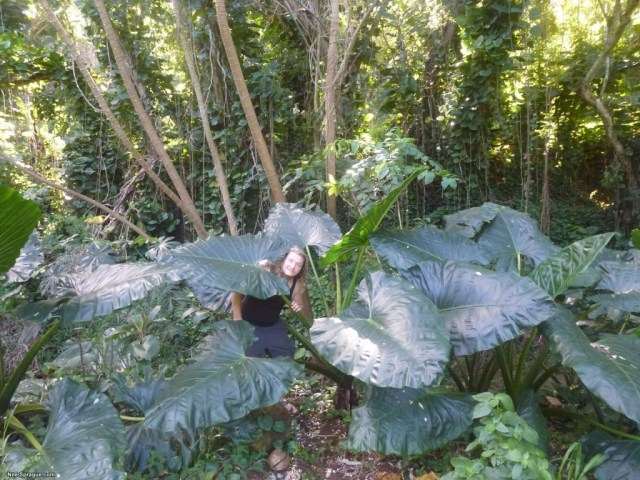 Nile with some really big leaves, Moloaa, Kauai, USA