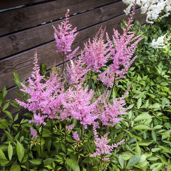 pinkastilbe, astilbe, garden, greenery