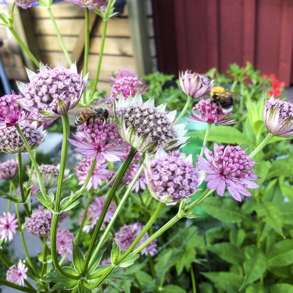 astratniamajor, garden, flowers, greenery