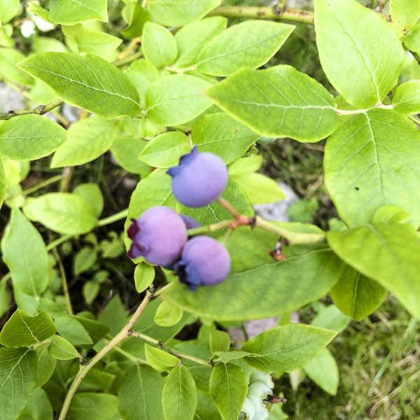 blueberries, garden, greenery