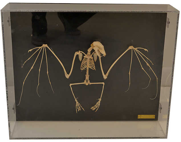 vintage mounted bat skeleton