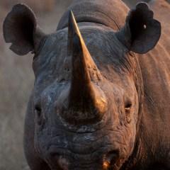 Black rhino (454F8580)
