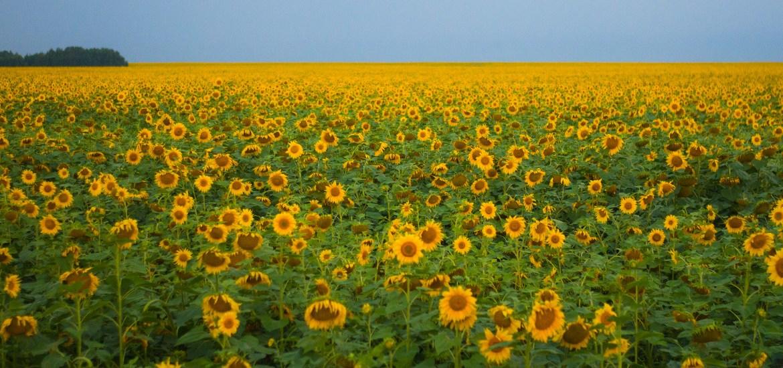 kazakhstan - sunflowers
